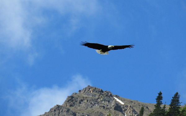 Eagle in flight in Alaska