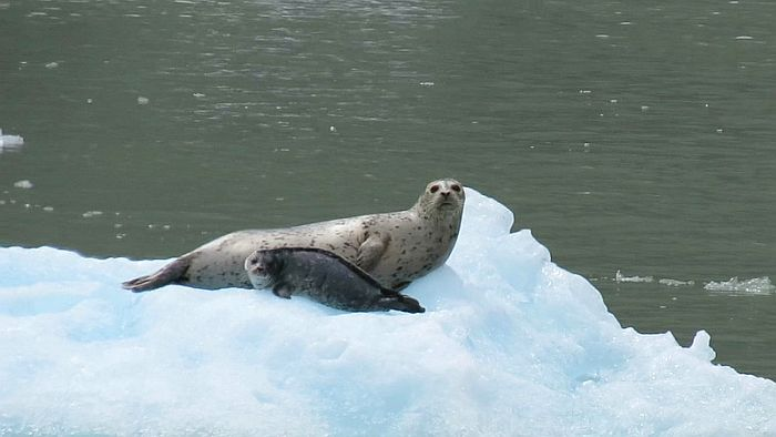 Harbor seals at South Sawyer Glacier