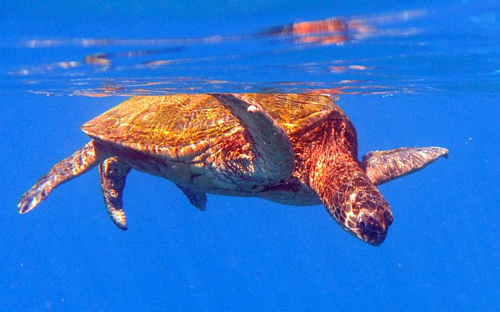 Hawaiian Turtle in water