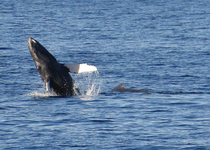 Whale watching season in Hawaii