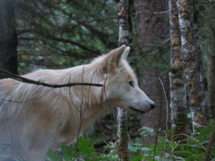 Wolves at Aventuraid
