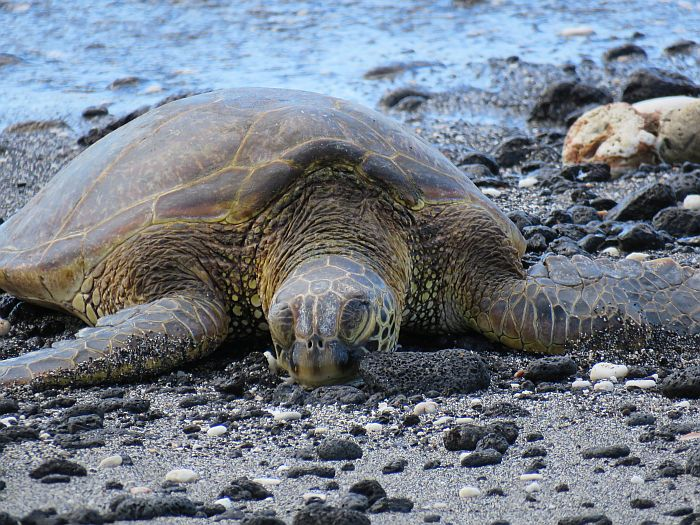 Sleeping turtle or honu at Fairmont Orchid