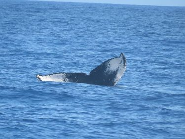 humpback whale off the Napalii Coast