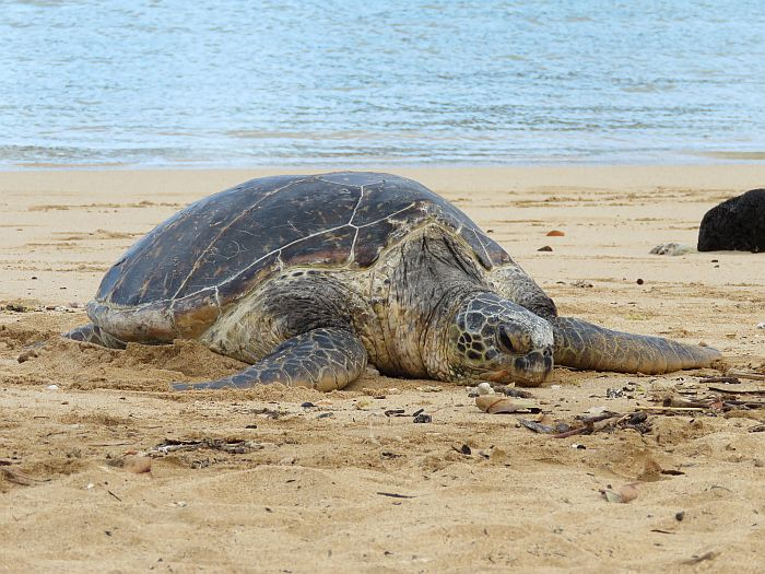 sea turtle on poipu state beach