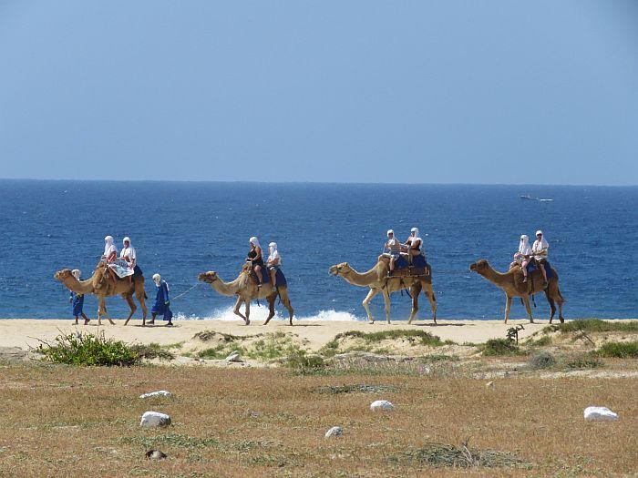 Camel on the beach in Cabo San Lucas