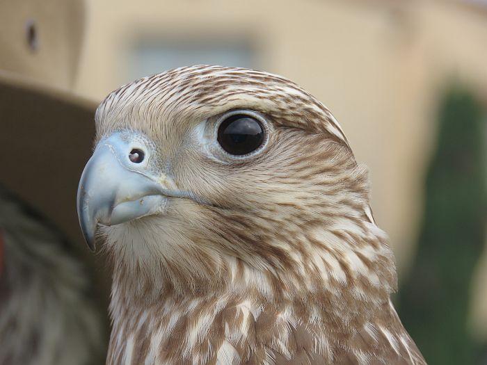 Falconry, Terranea