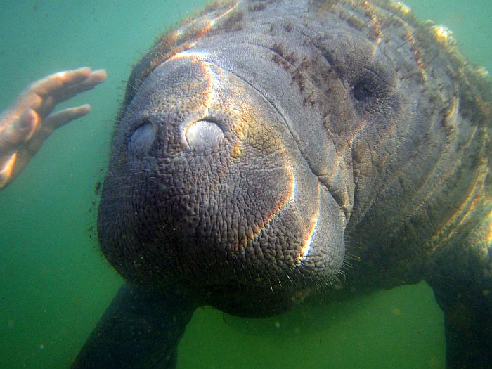 close up of a manatee underwater