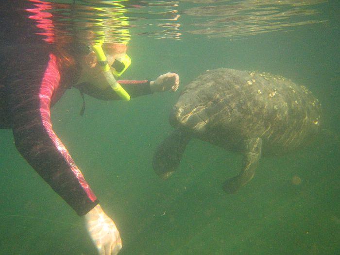Swim with manatees, Crystal River, Florida
