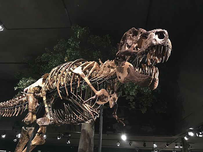 Museum of the Rockies T-Rex