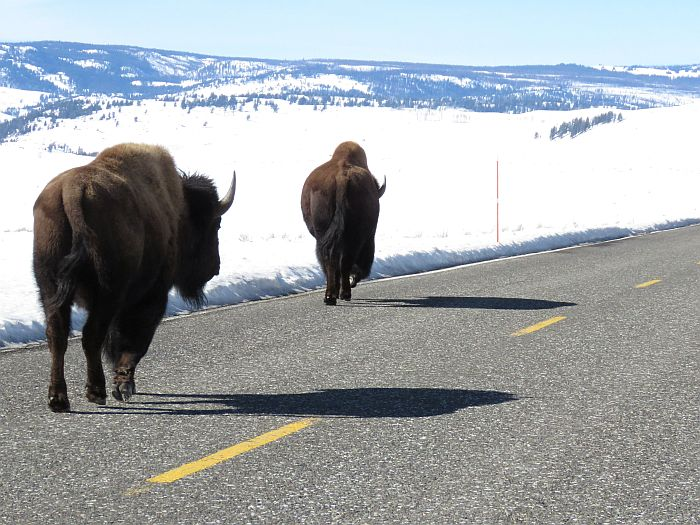 Bison on the road in Yellowstone National Park