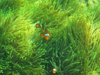 clownfish snorkeling on Thailand's Hong Island