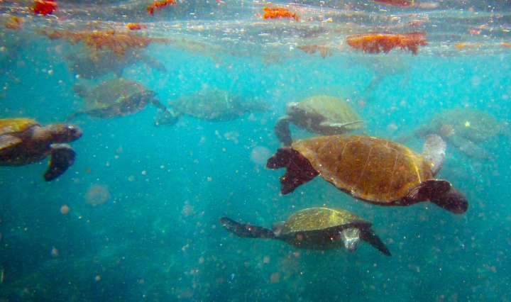 Swimming with turtles in the Galapagos