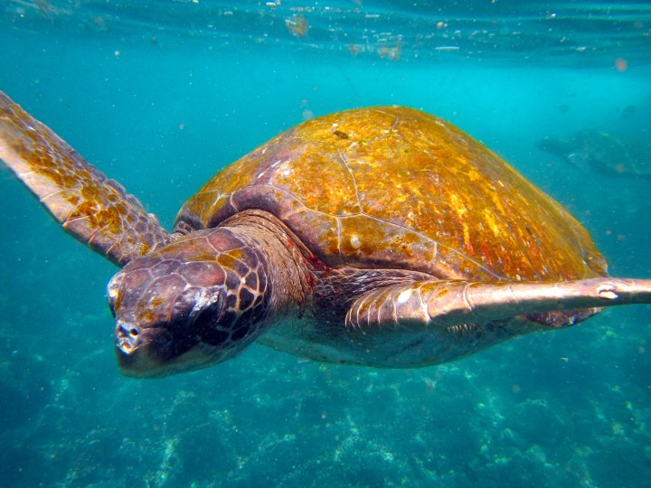 Swimming with Turtles off Isabela Island, the Galapagos