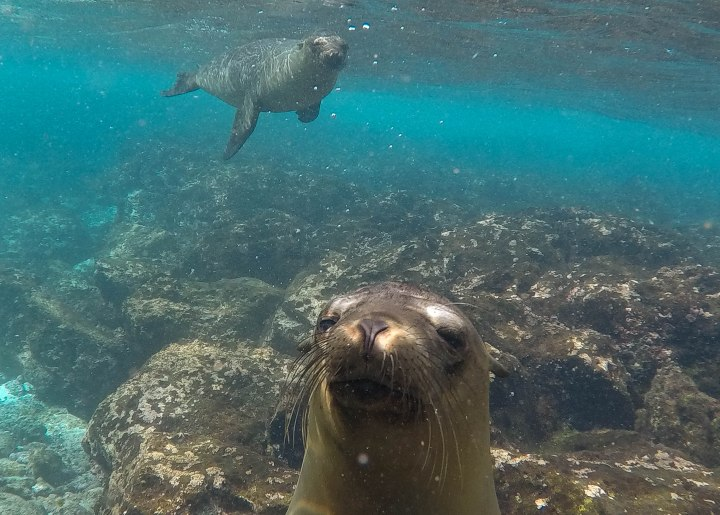 Swimming with sea lions in the Galapagos