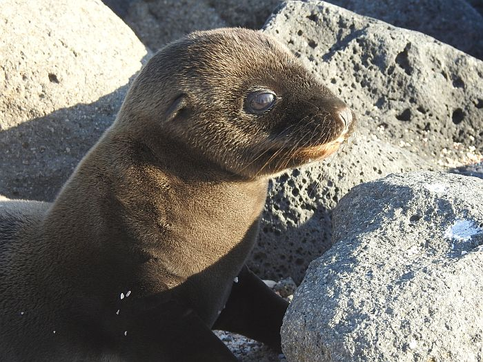 Sea Lion pup from the Galapagos Island