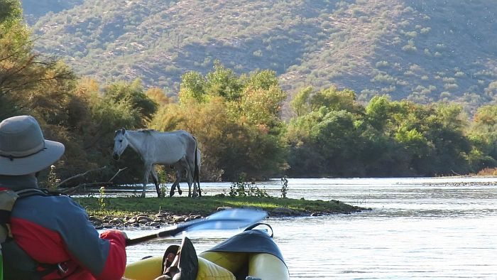 Kayaking Lower Salt River with wild mustangs