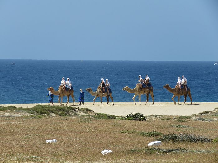 camels in Cabo