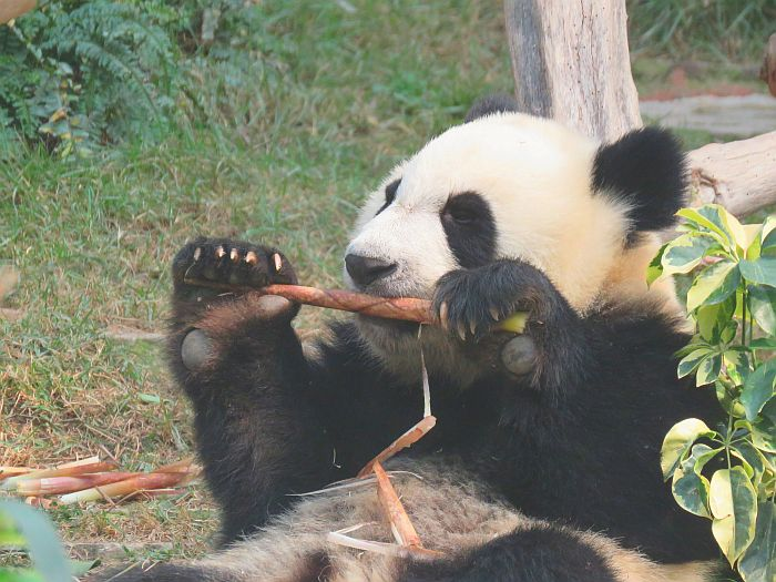 Macao Giant Panda Pavilion, Macao