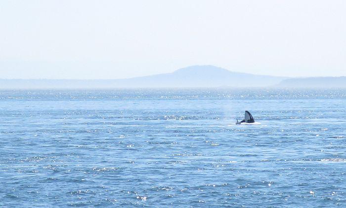 Orca spyhop Victoria, BC