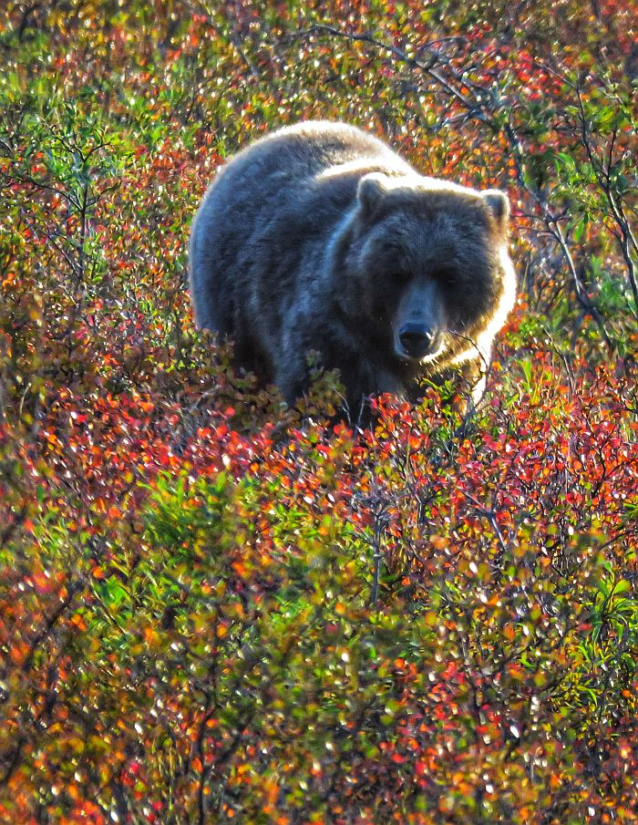 bear in Denali National Park