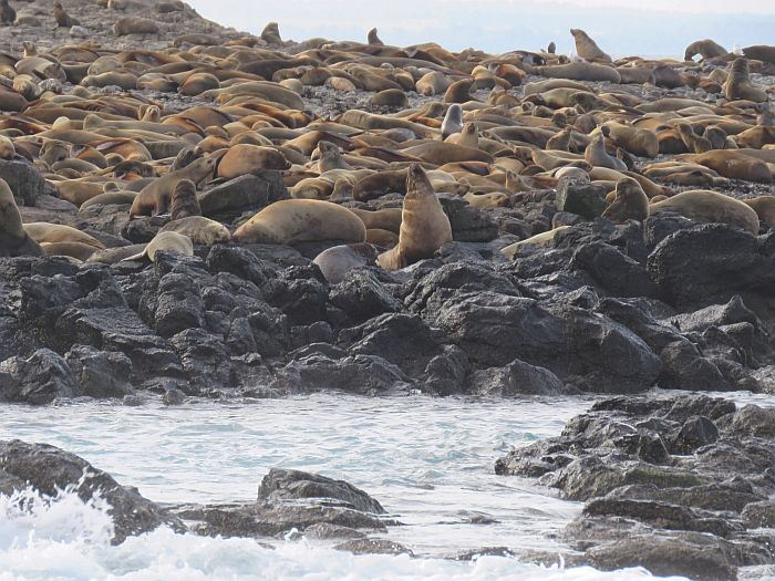 thousands of seals, Seal Rock, Phillip Island Nature Parks