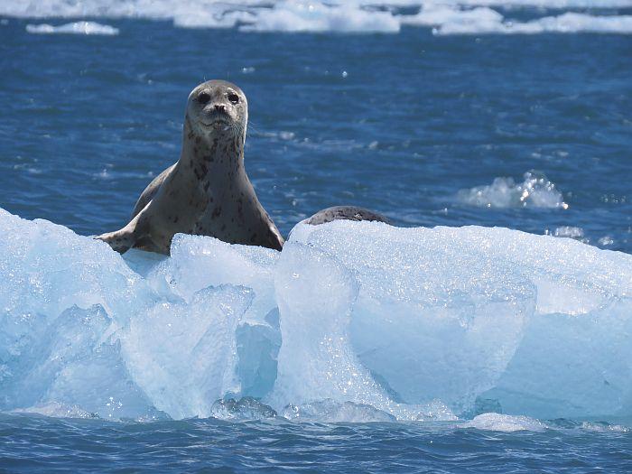 harbor seal on iceberg, Aialik Glacier