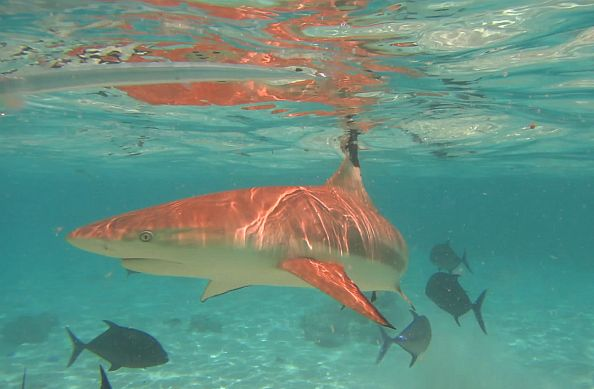 snorkel with black tip sharks in Moorea
