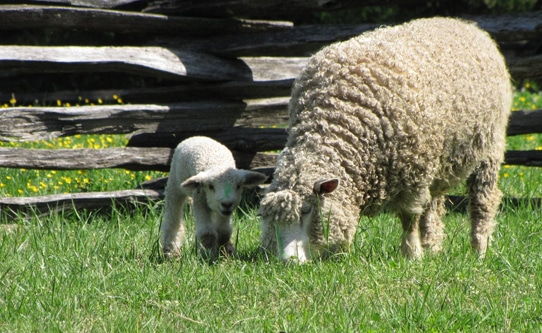 baby-lambs-colonial-williamsburg