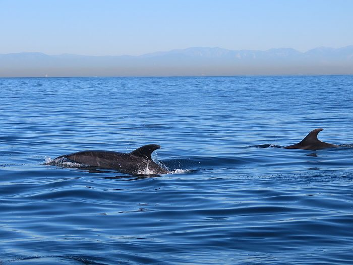 Bottlenose dolphins off Newport Beach